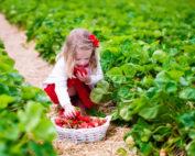 Mädchen pflückt Erdbeeren (Foto: www.istockphoto.com © FamVeld)